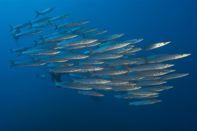 Barracudas en Derawan